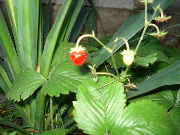 Столетници, малки за засаждане и градински ягоди