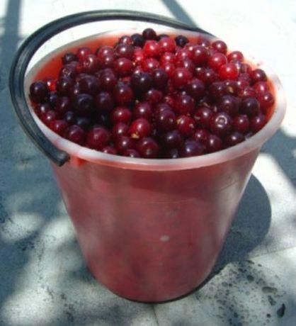Продам вишни недорого