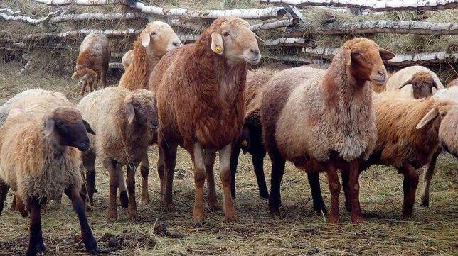 Бараны.  Овце-матки