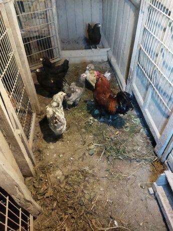 Продам куриц Амераукана