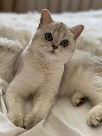 Коты и кошки в разведение или обмен
