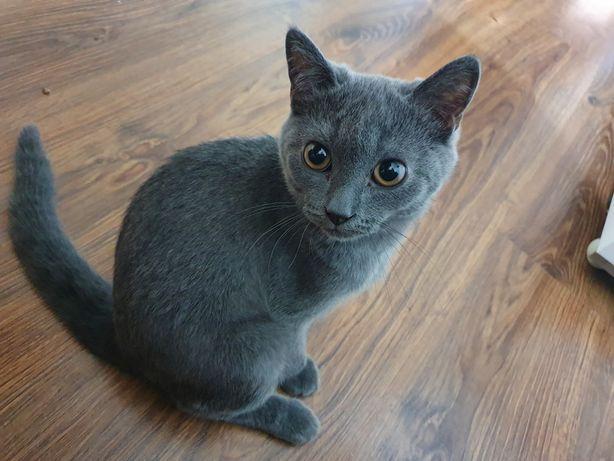 Срочно продам котенка шотландец с закрытым горшком, когтеточкой
