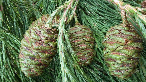 Семена от иглолистни видове Секвоя Бор Смърч Кедър Ела Тис Кипарис Туя