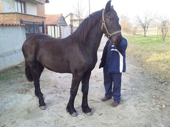 Продавам ресиста порода коне