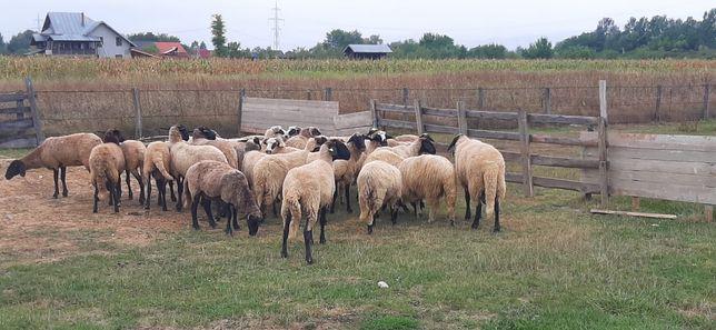 Vând oi de rasa foarte bine tinute