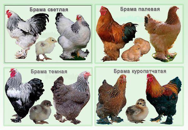 Инкубационные яйца Брамы