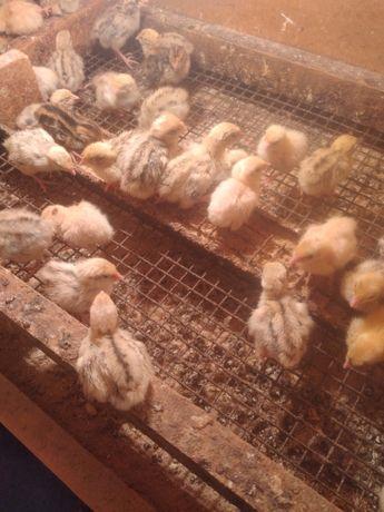 Суточные цыплята перепелов