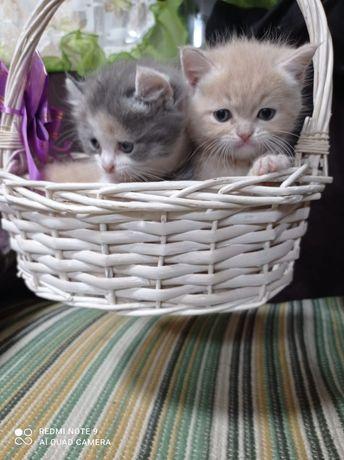 Продам котят, 2 мальчика и девочка