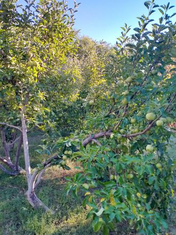 Алма, яблоки Американка,золотой превосход 1 тонн