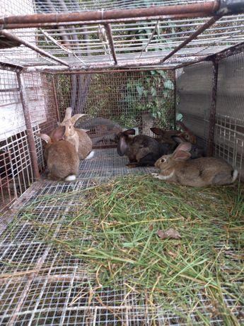Puiuți de iepuri