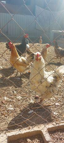 Куры, петухи, цыплята