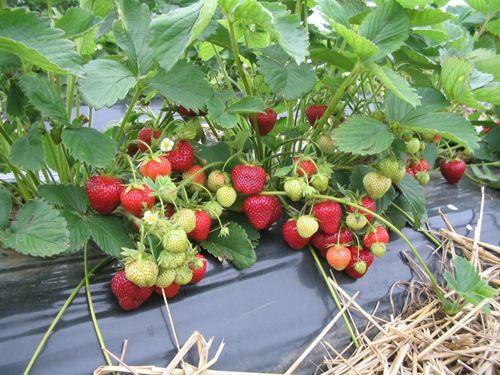 Stoloni capsuni Honeoye plante verzi 2020
