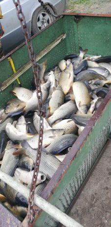crap viu pentru pescuit sportiv si de agrement,livrez peste