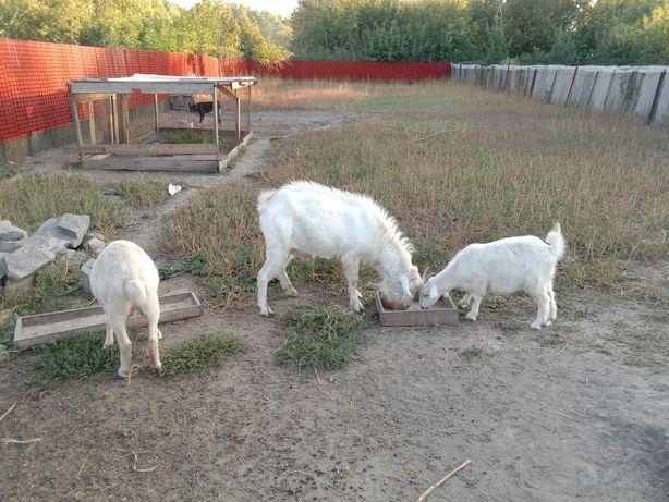Козел коза козочка