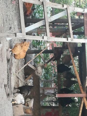 Курицы домашние молодые