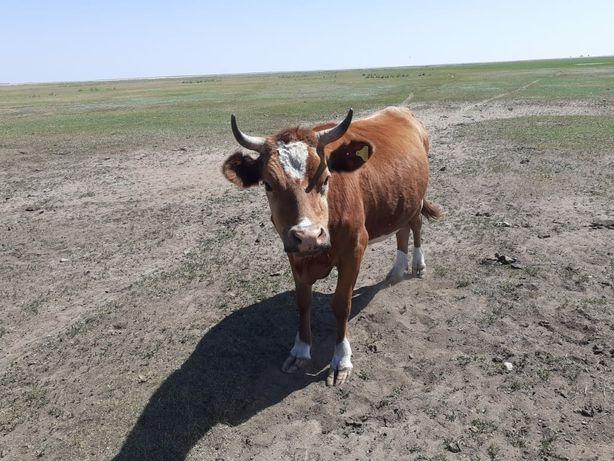 Продам корову не доиться можно на мяса, 300000т торг