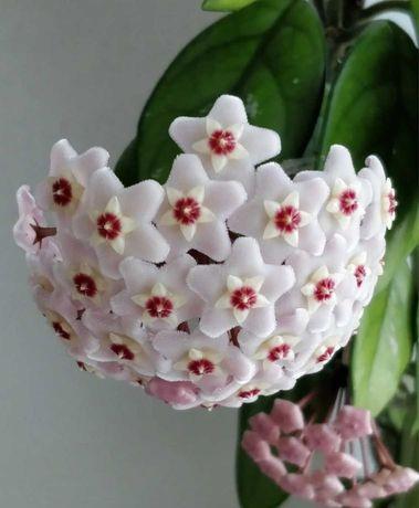 HOYA CARNOSA (floarea de ceara) , Adenium (Trandafirul desertului )