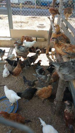 Продаются цыплята