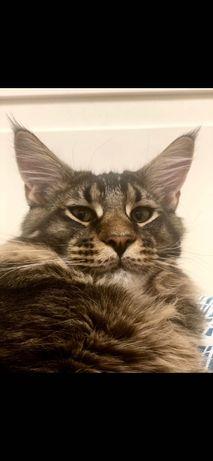 Вязка , шикарный кот мейкуна ищет для себя кошечку.