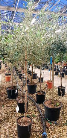 Vindem măslin  bambus magnolie galbenă avem mai multe dimensiuni