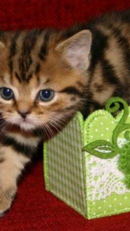 Котята красавчики полубританчики