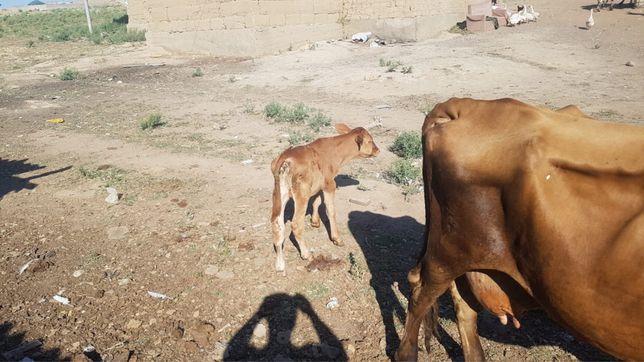 Породный Корова