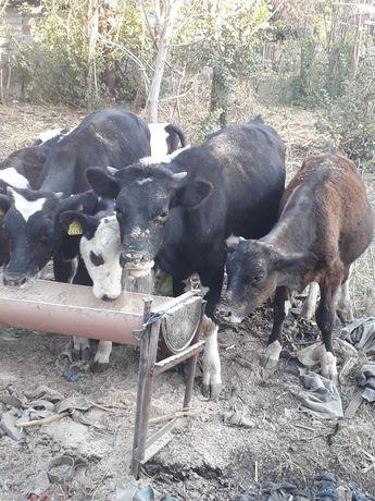 Vand vitei grasi in viu sau carcasa