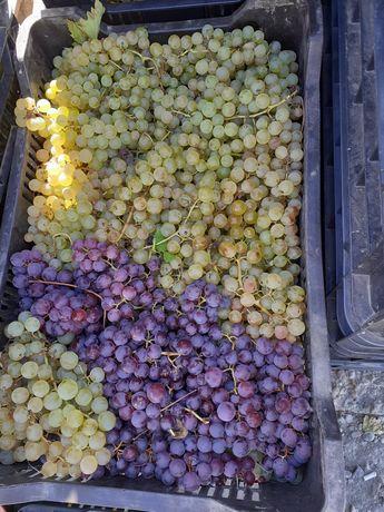 Vând strugurii pt vin din Vrancea