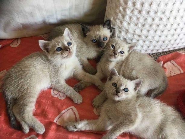 Pisici siamezi de vanzare
