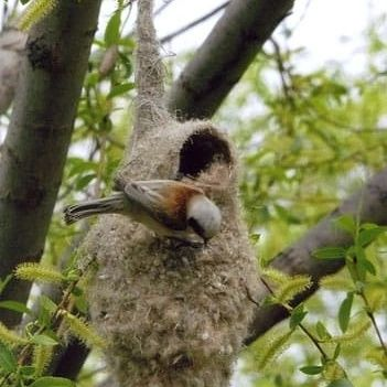 Настоящее гнездо ремеза