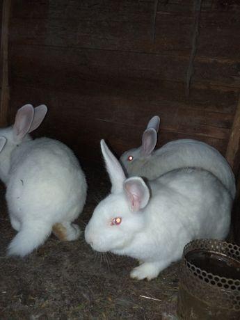 Зайци (цика и калифорнийски)
