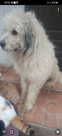 Câine mioritic românesc (mascul)