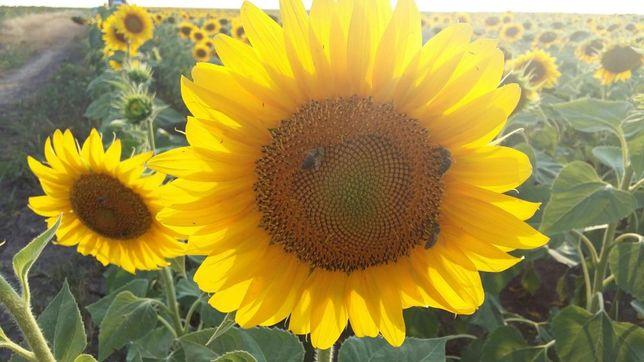 Vand miere Bio de floarea soarelui 2019