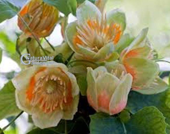 Arborele de lalea Liriodendron tulipifera L