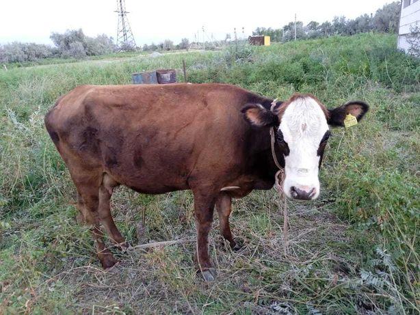 Срочно прордается дойная корова. торг уместен