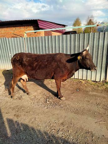 Срочно Дойная корова