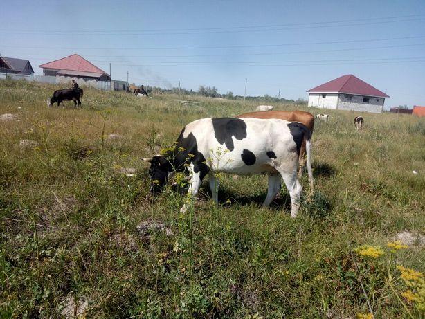 Продам корову черна пестрой породы