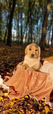 Labrador Retriever pedigree tip A