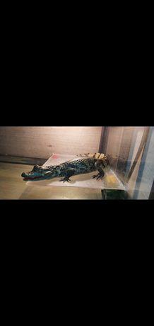 Крокодил, 65+- см