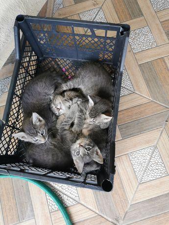 Donez pui pisica, culoare gri, de aprox 2 luni