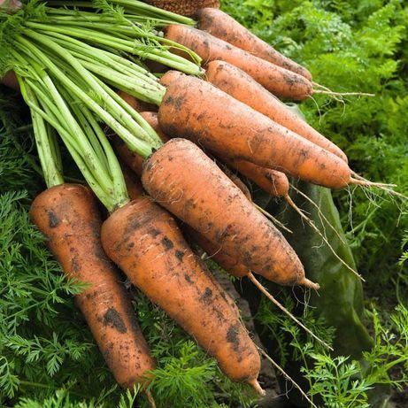 Домашняя морковь