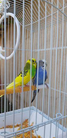 Papagali  multicolori (perusi tiner)