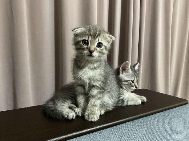 Котята, шотландские
