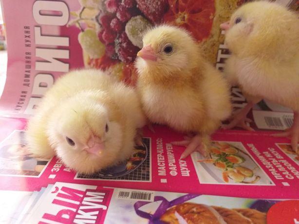 Инкубационное яйцо и породистые цыплята.