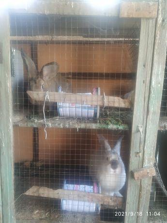 Продам кроликов пародных