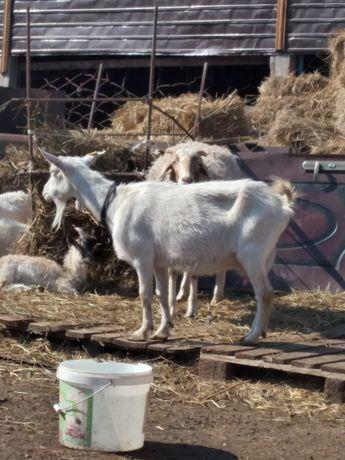 Зааненские молочные козы с козлятами и молодняк