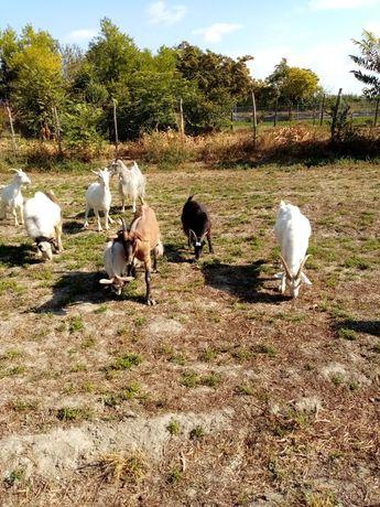 Vând capre gestante