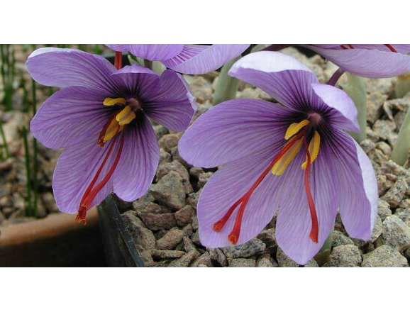 Шафранов минзухар (Crocus Sativus) - луковици