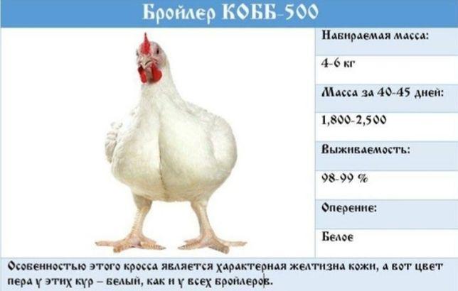 Инкубационные яйца кобб500