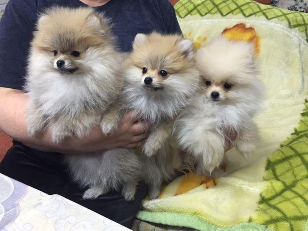 Продам щенков Шпица